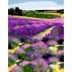 "Набір-стандарт, картина за номерами, ""Квітуче лавандове поле"", 35х45см, ROSA START"